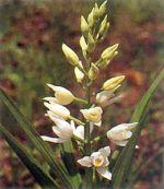 Orchidea Elleborina a foglie lunghe