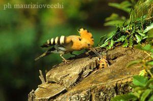 Nella foto, una femmina imbecca i piccoli nascosti nel nido della cavità di un albero di castagno