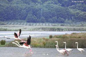 Leggi tutto: Fenicotteri Rosa in sosta al lago di Vico
