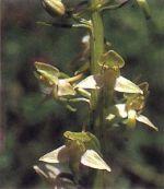 Orchidea Platantera verdastra