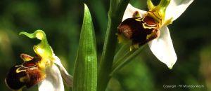 b_300_300_16777215_00_images_stories_lago-di-vico_orchidea.jpg